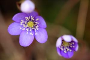 Inventario de flora y vegetación - Bosques naturales - Flora de Pirineos - Hepatica nobilis